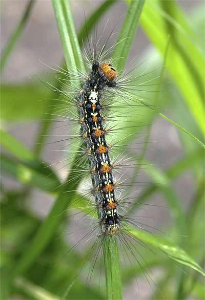 マイマイガの幼虫2