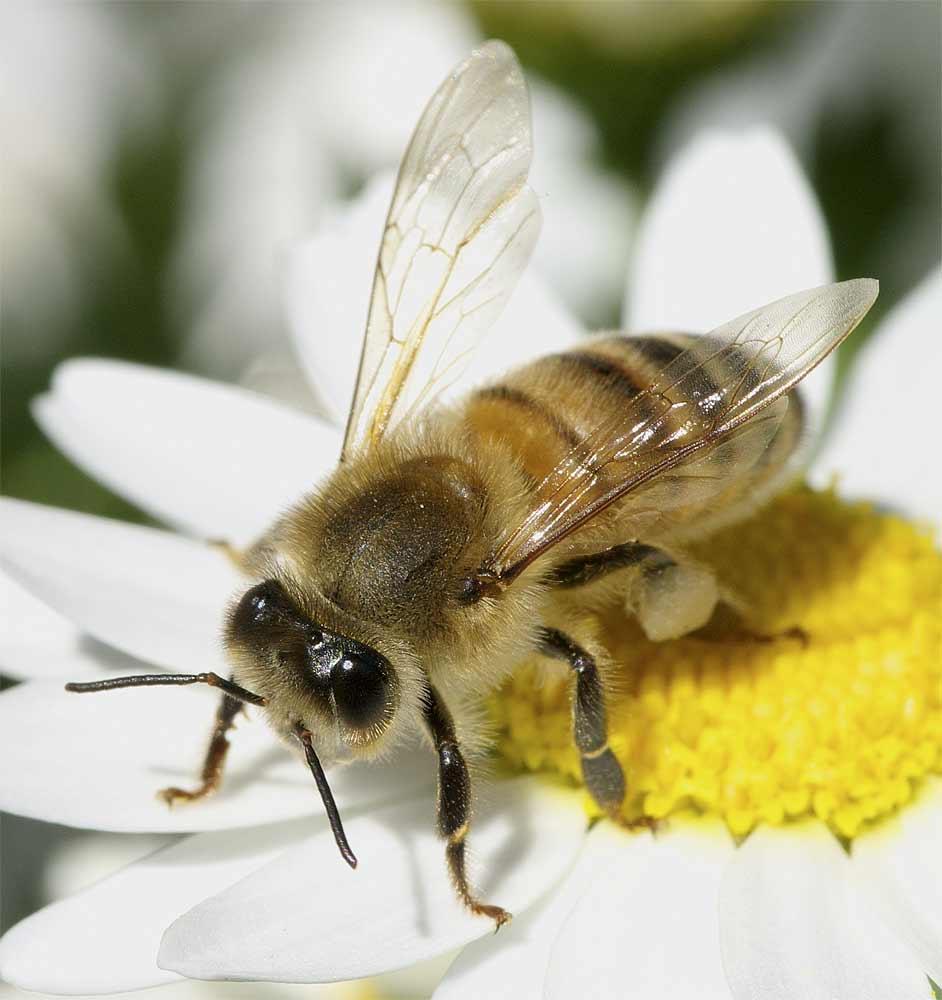 セイヨウミツバチ5