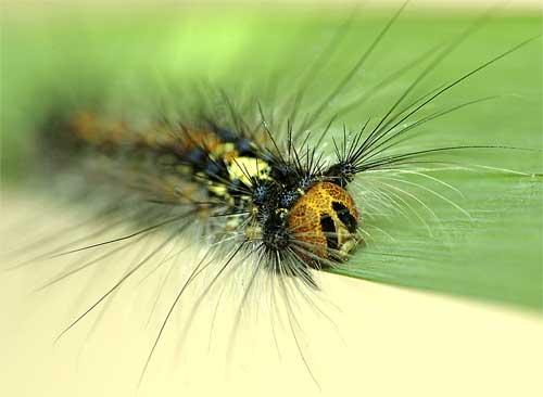 マイマイガの幼虫4