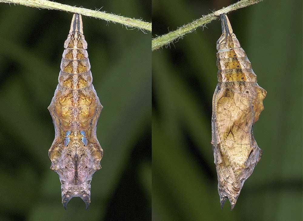 ルリタテハの蛹