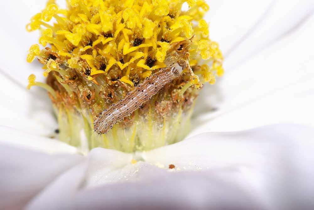 オオタバコガの幼虫(3齢)1