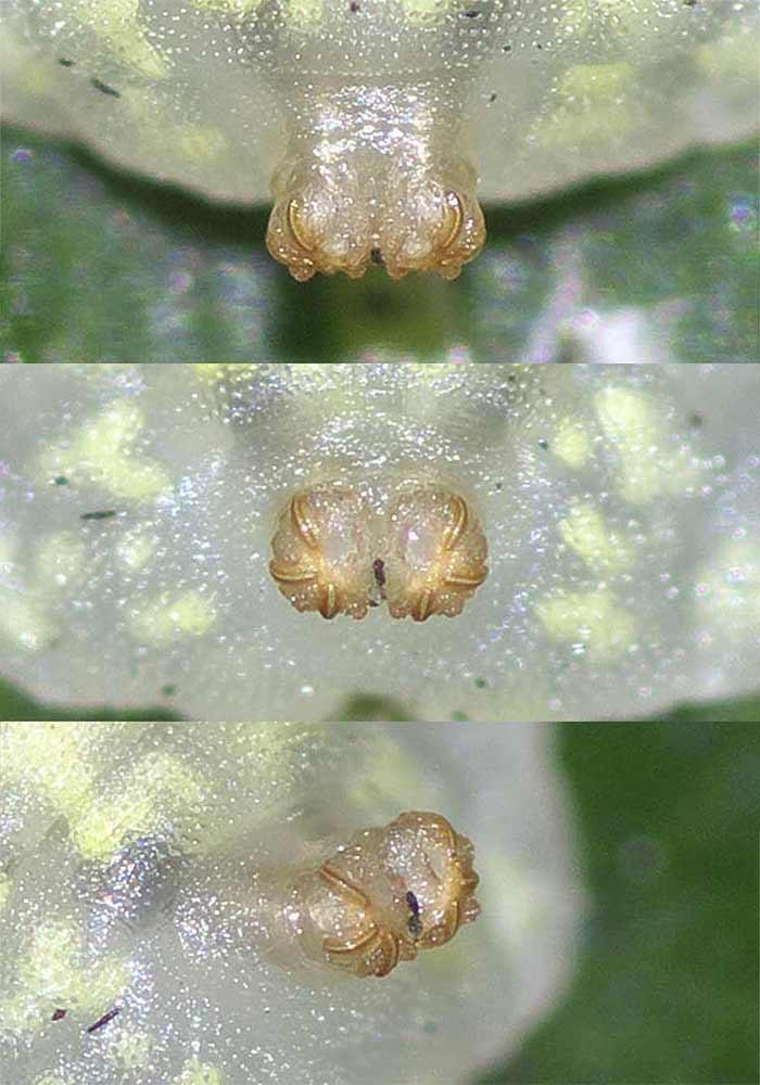 マガイヒラタアブの幼虫(3齢)8