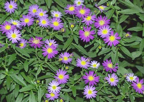 北米原産シオンの1種(紫花)1