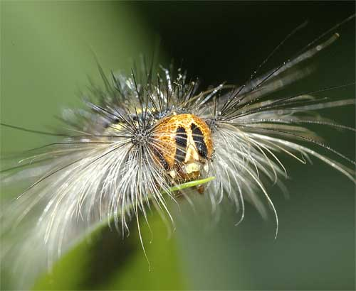 マイマイガの幼虫5