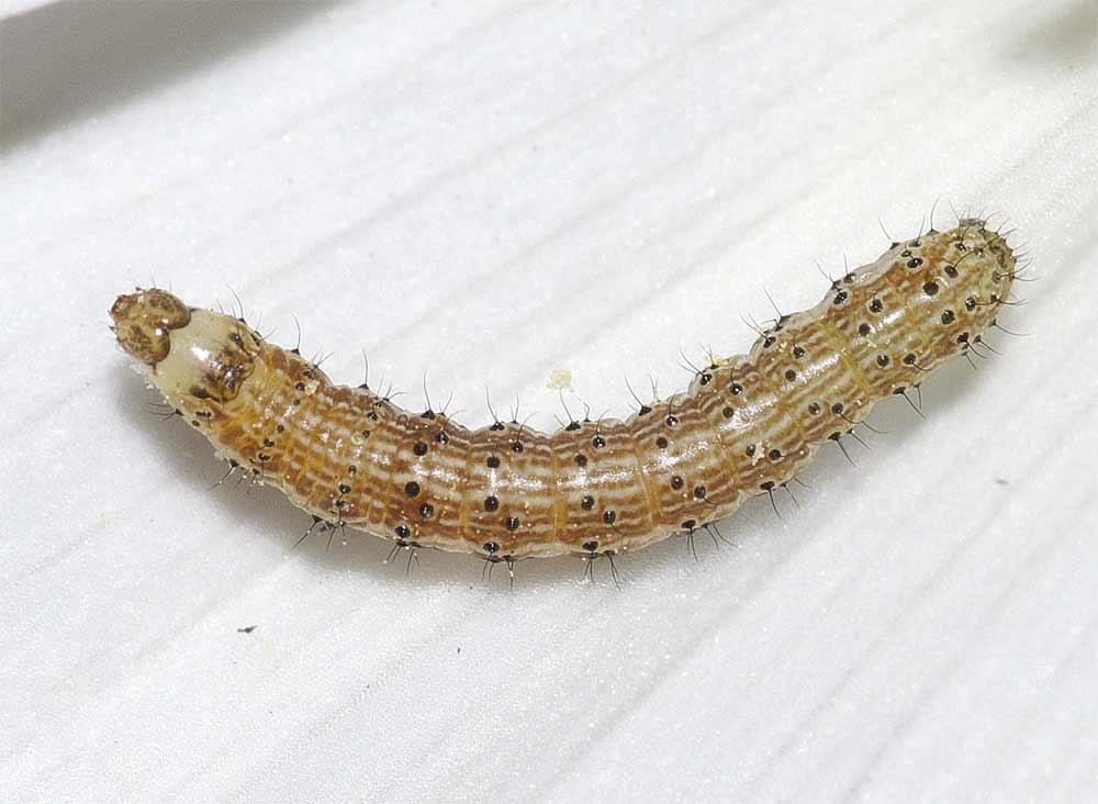 オオタバコガの幼虫(3齢)2