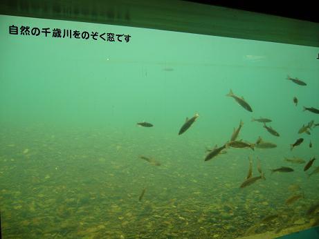 サケのふるさと 千歳川水槽.JPG