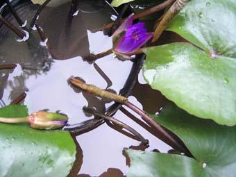池つぼみ.jpg
