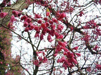 桜8分.jpg