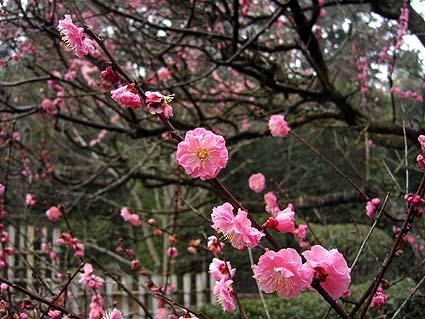桜サク.jpg