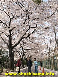 上野桜木の桜並木