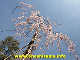 上野寛永寺の滝桜の孫樹