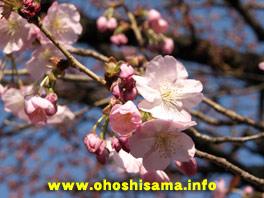 両大師の桜