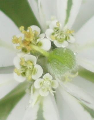 ハツユキソウの種。