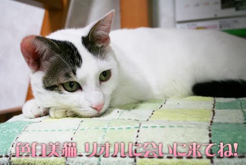 美猫です。里親募集中です。