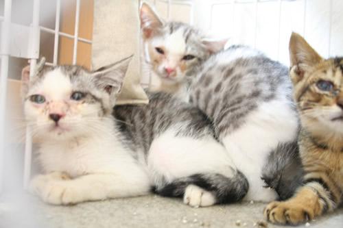 預かりさん募集の子猫たち