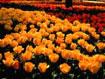 sp_tulip.jpg