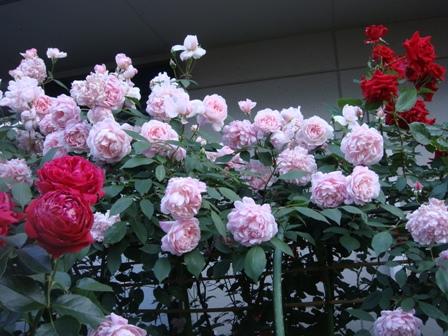 よみがえる小さなバラ庭&ジャッ...