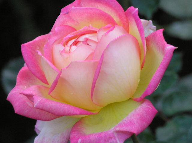 水元公園の薔薇2.jpg