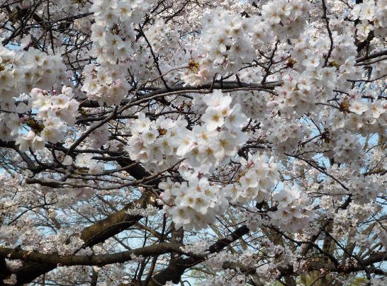 代々木公園桜.JPG