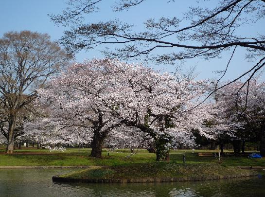 代々木公園桜2008.JPG