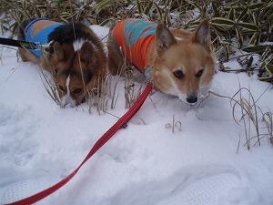 雪の中のキツネとタヌキ!?