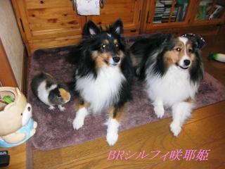 我が家の3匹 BRとシルフィと咲耶姫(モルモット)
