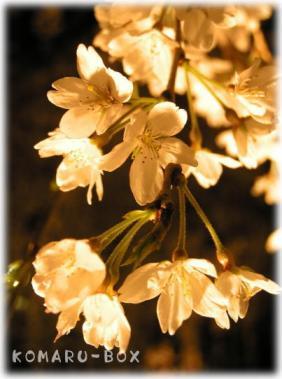 野依の枝垂れ桜5
