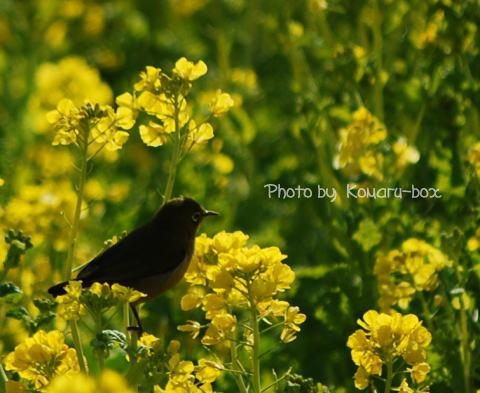 菜の花とメジロ