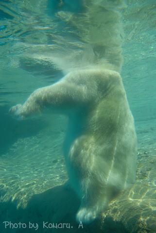 シロクマさん水面下(笑)