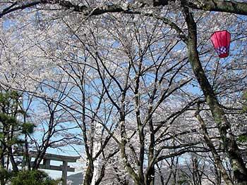 2(護国神社の桜)