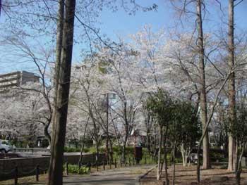 3(護国神社の桜)