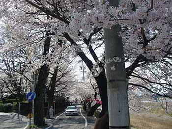 9(長良川沿いの桜)