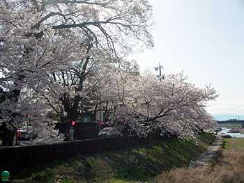 11(長良川沿いの桜)