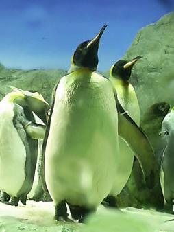 海遊館のペンギン (1).JPG