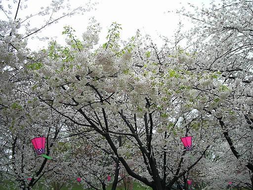 コピー ~ 天保山の桜 (4).JPG