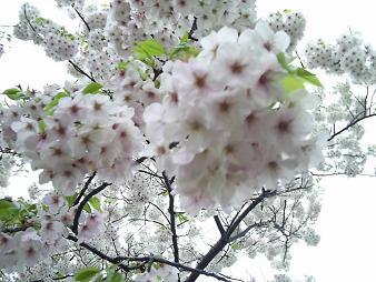 天保山の桜 (6).JPG