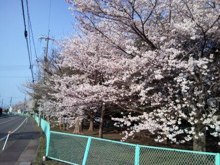 琴浦町の桜