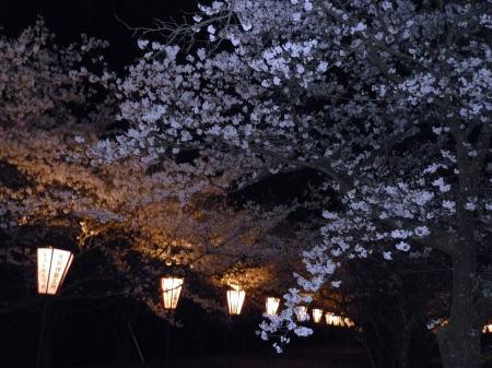 琴浦町家畜改良センターの夜桜1