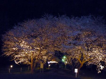 琴浦町家畜改良センターの夜桜2