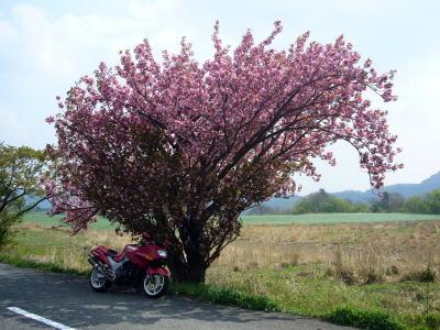 八重桜とZZR1