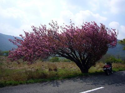 八重桜とZZR2