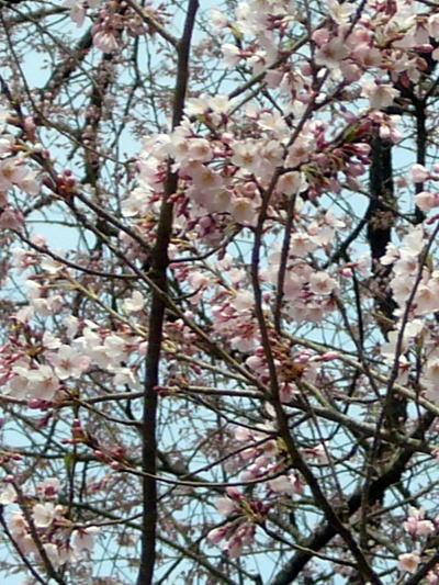 岩井畝の大桜の花