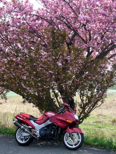 八重桜とZZR3