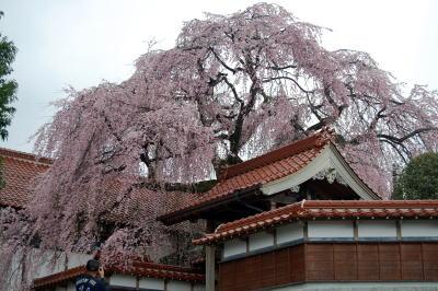 極楽寺枝垂れ桜1