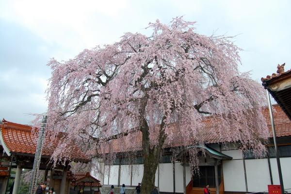 極楽寺の枝垂れ桜2