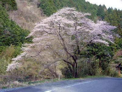 K65のいっぽん桜