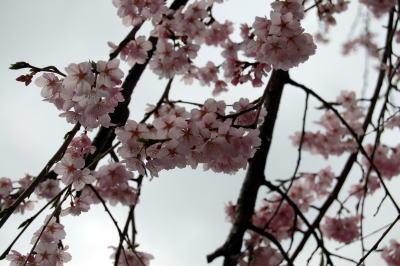 極楽寺の枝垂れ桜3