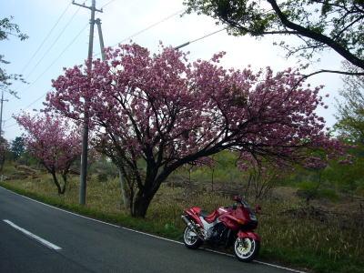 八重桜とZZR4
