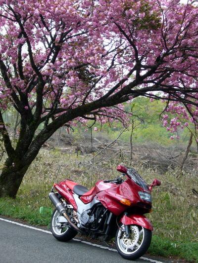 八重桜とZZR5
