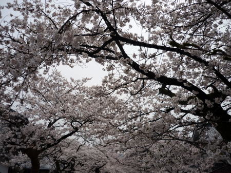 新庄がいせん桜祭2
